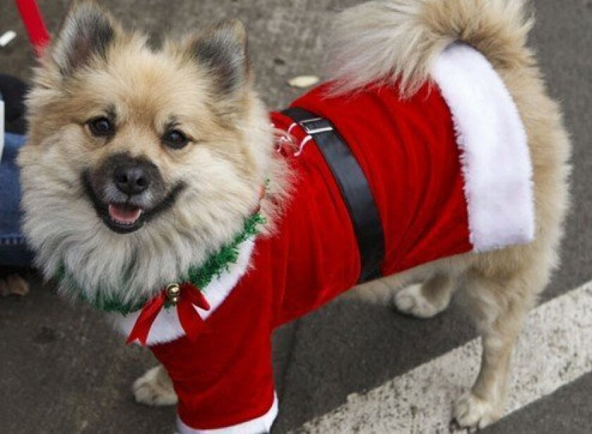 Pets are always dressed up for the La Jolla Christmas Parade like they were in 2010.Photo by Alicia Santistevan