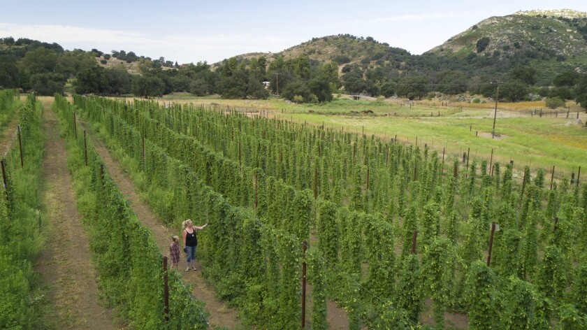 Ranch manager Amie March and daughter Violet walked among hop plants in Santa Isabel in 2019