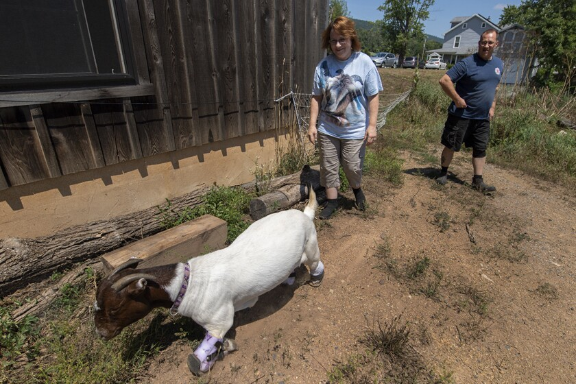 Michelle and Lenny Yourth join Anna during the goat's trot around the couple's barn near Millerstown, Pa.