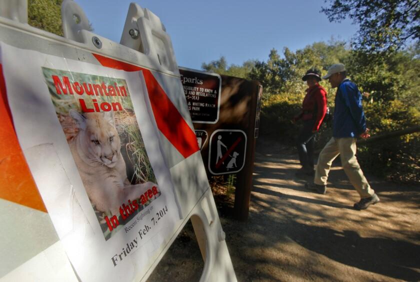 Mountain lion killed