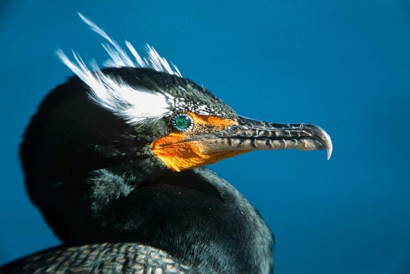 Double crested cormorant in breeding plumage taken at La Jolla Cove