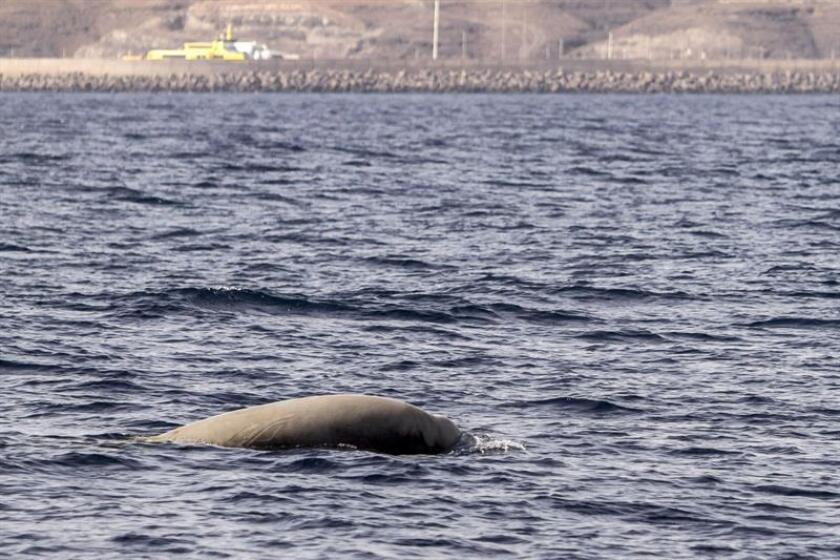 Vista de un cachalote en parte del océano del Atlántico. EFE/Archivo