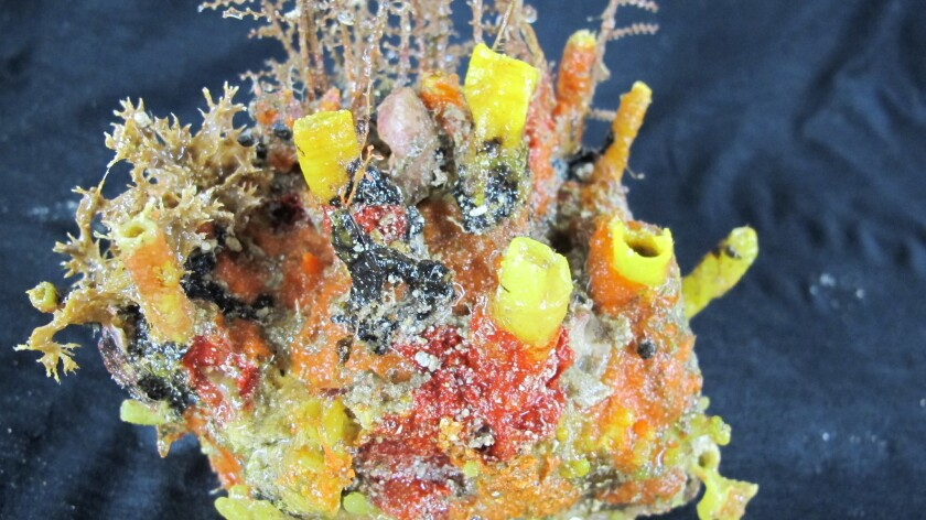 Amazon River mouth's coral reef teeming with life