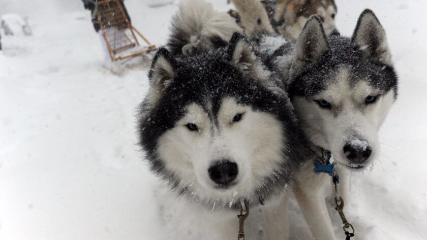 The owner of two huskies goes dog sledding during a blizzard in Maryland in Maryland in 2016.