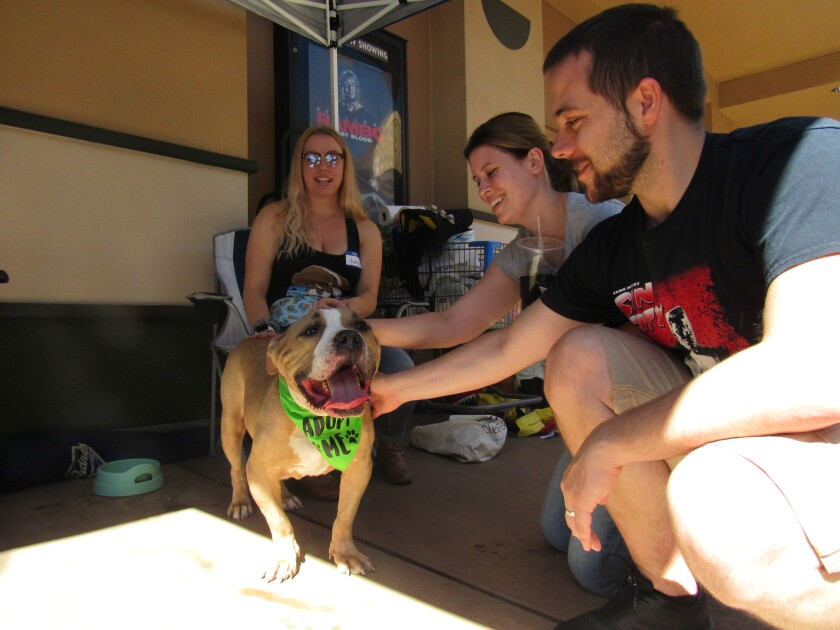 Ashley Gruff from It's The Pits dog rescue hangs on to an adoptable dog who caught the interest of La Mesa couple Alex Hannig (center) and Nathan Hannig on Saturday at Grossmont Center. Crowds swarmed the La Mesa mall for the opportunity to meet and potentially adopt one of the several hundred dogs, cats, birds and one rabbit at the annual Howl-O-Ween Hounds MEGA Adoption event.