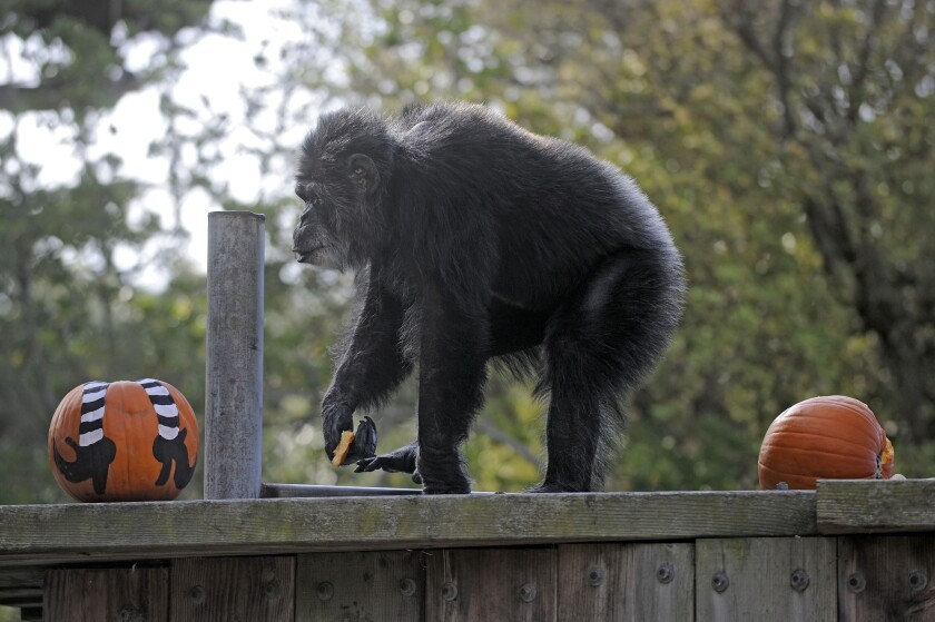 FILE - In this Oct. 21, 2009, file photo, Cobby, a male chimpanzee, plays with pumpkins during the San Francisco Zoo's 'Boo at the Zoo' Halloween celebration in San Francisco. Cobby, the oldest male chimpanzee living in an accredited North American zoo died Saturday, June 5, 2021, at the San Francisco Zoo & Gardens. He was 63. Cobby, had been a hand-reared performing chimpanzee before he was brought to the San Francisco zoo in the 1960s. (AP Photo/Russel A. Daniels, File)