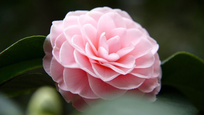 Garden Calendar: Camellia gazing, succulent show and water-saving workshops