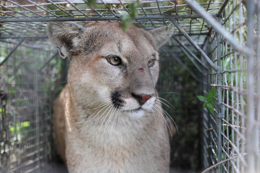 Opinion: If it's mountain lions vs. livestock, readers side with mountain lions