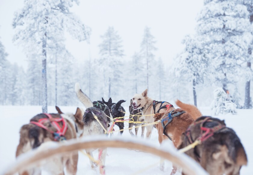 If you want to go dog-sledding in Scandinavia this winter, consider SAS' cheap airfares in January and February.