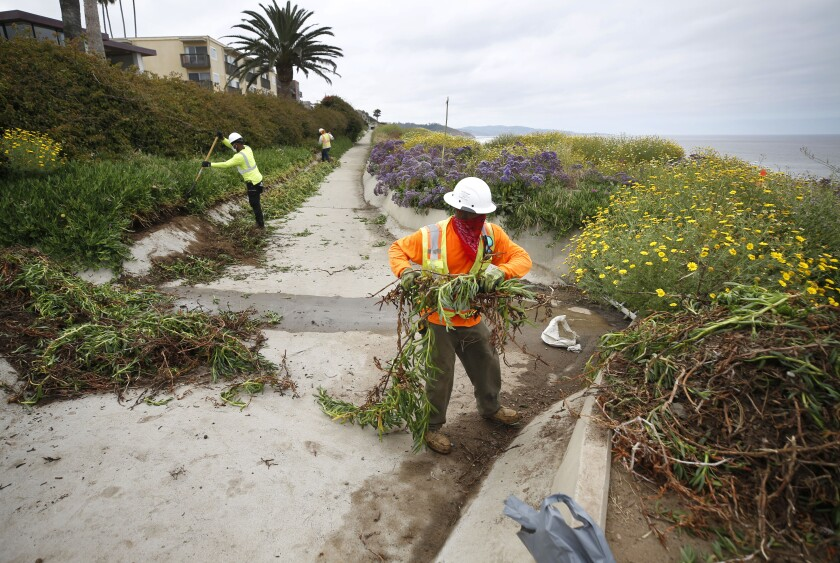 Workers clear ice plants at a stormwater drain near 6th Street in Del Mar on Monday, where the latest Del Mar bluff stabilization project has begun.