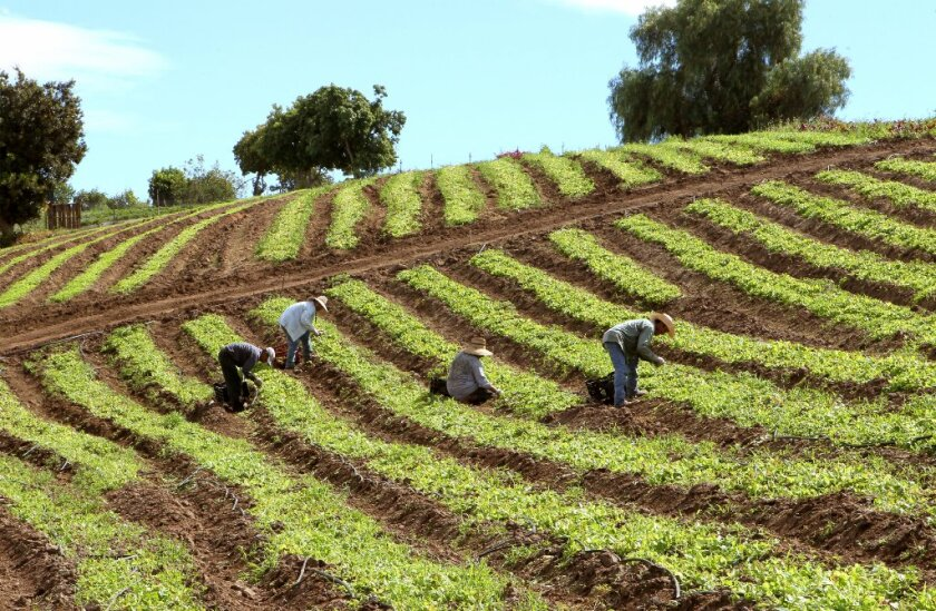 Workers pick lettuce in 2015 on a small farm in the Morro Hills area.