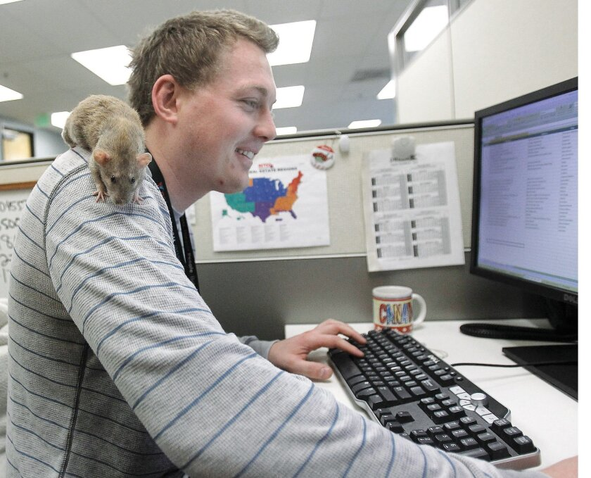 Jeremy Hamm's pet rat Zoe roosts on Hamm's shoulder at Petco's corporate offices.