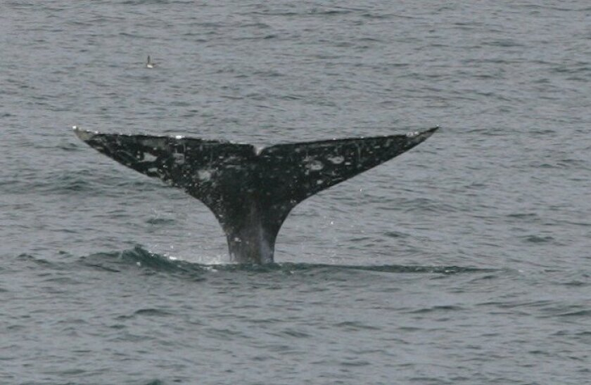 A California gray whale en route north showed its tale.