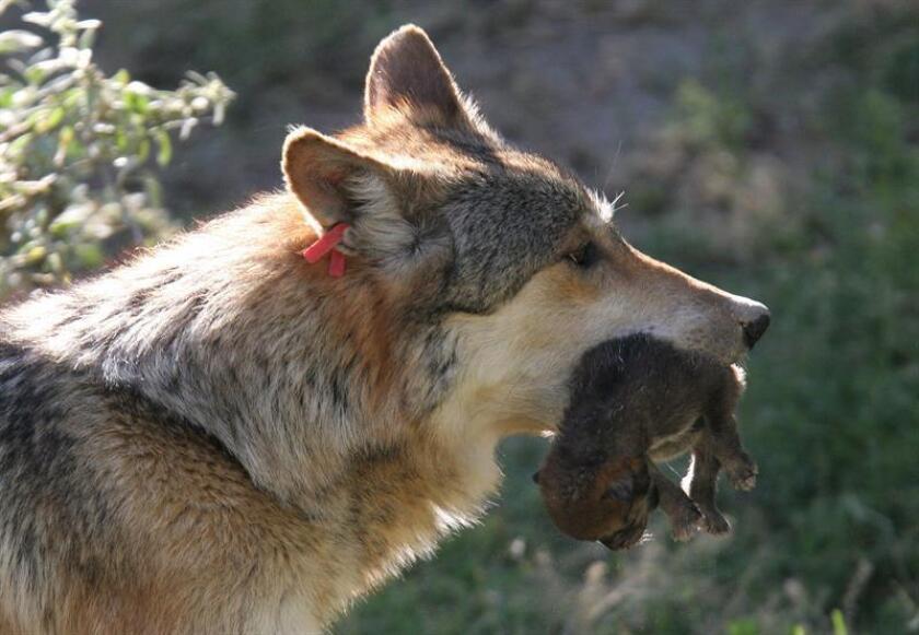 Una loba madre saca a sus crías al sol. EFE/Archivo