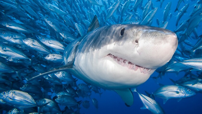 A great white shark is surrounded by a school of bigeye trevally. A new study says that the rate of shark attacks in California is declining, not rising.
