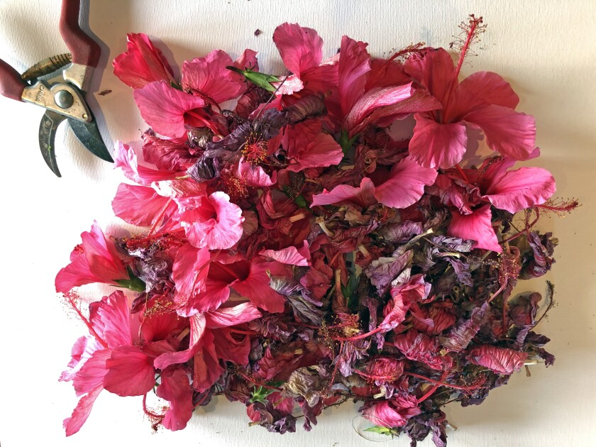 Pink hibiscus flowers, used to make a natural dye