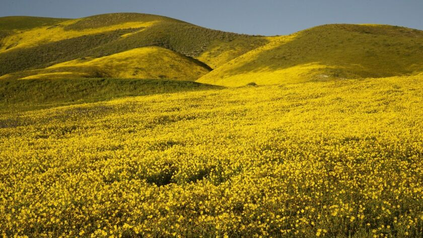 wild flowers at Carrizo Plain (Mar. 13, 2019) Hwy 58 and Seven Mile Rd.