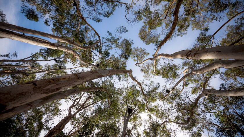 Looking up into the eucalyptus trees, where Adams' tones drift down and blend with ambient sounds on