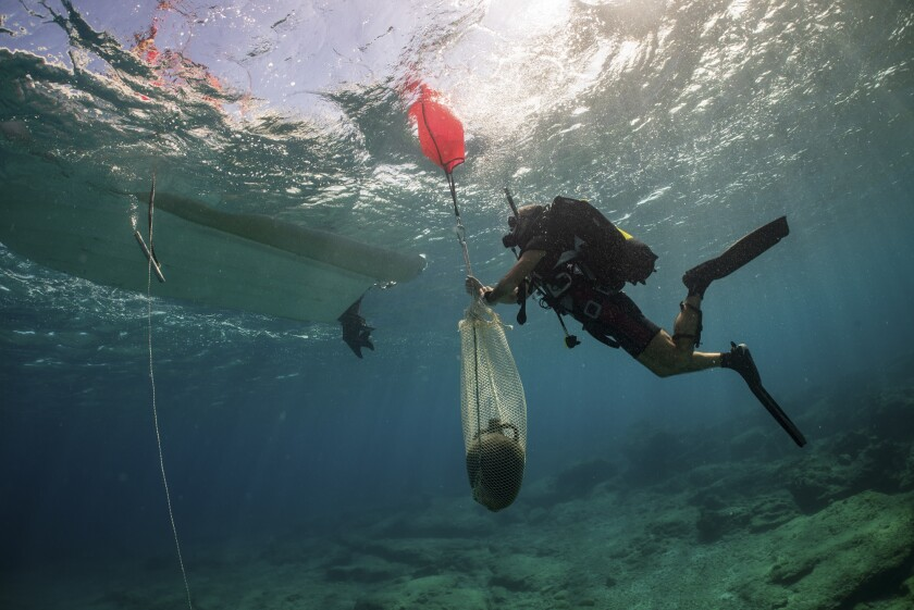 In this undated photo provide by the Greek Culture Ministry on Monday, Nov. 4, 2019, an archeologist takes part in an underwater excavation at the small Aegean island of Kasos, Greece. Greece's Culture Ministry says three shipwrecks from ancient and mediaeval times and large sections of their cargoes have been discovered off the island of Kasos. (Frode Kvalo/Greek Culture Ministry via AP)