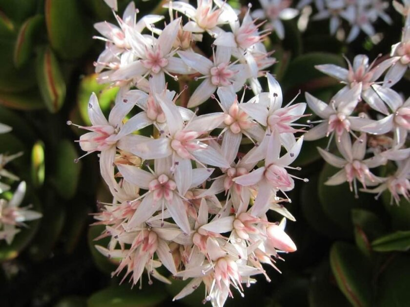 Pretty pink flowers bloom abundantly on a jade plant.