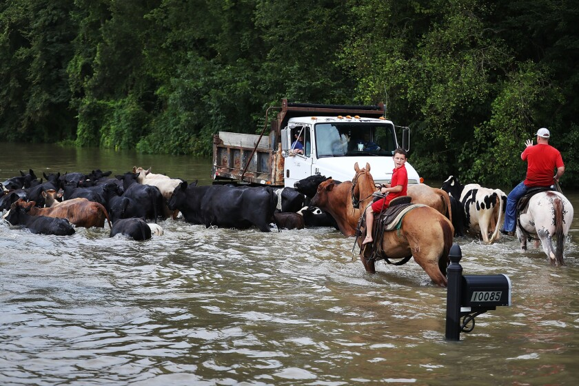 In Sorrento, La., cattle are herded down a flooded road toward trucks that will take them to dry land.
