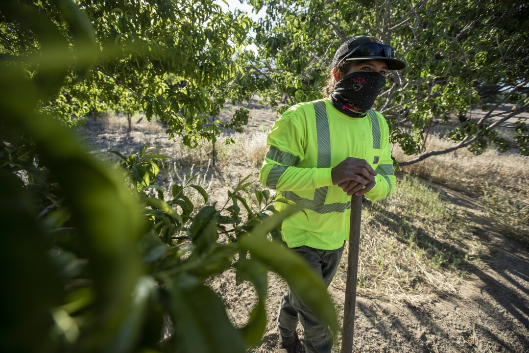 Arborist Dave Goto prepares to water an original pear tree planted by ranchers and farmers in the 1920s in an orchard.