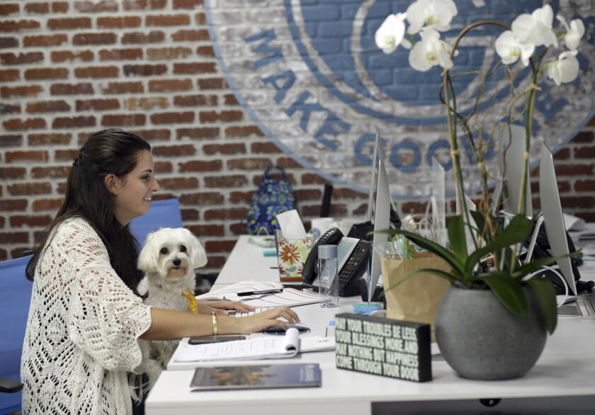 Kristina Florio trabaja con su perrito Gio en su falda en la firma O'Connell & Goldberg Public Relations de Hollywood, Florida. Muchas empresas, sobre todo pequeñas, consideran que la presencia de mascotas en la oficina genera un buen ambiente y aumenta la productividad. (AP Photo/Lynne Sladky)