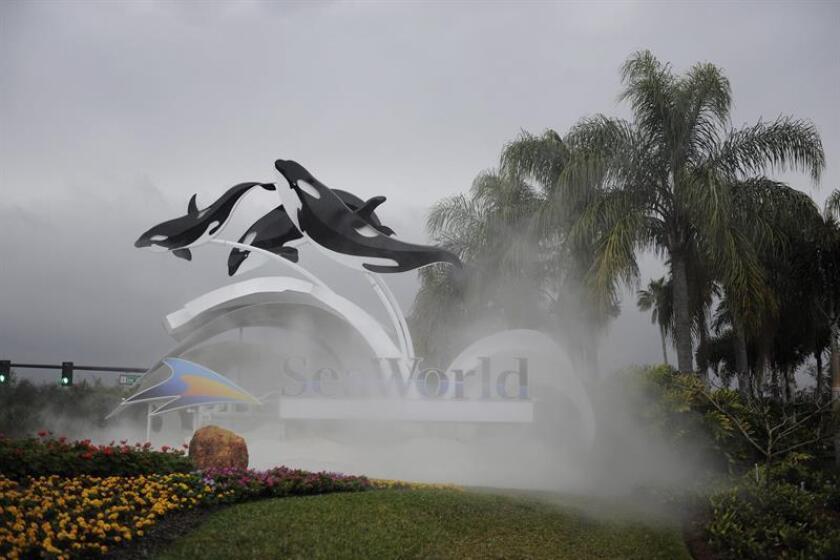 """La orca Tilikum, del parque SeaWorld de Orlando (Florida), famosa por la muerte de su entrenadora en 2010 y sobre el que giró el polémico documental """"Blackfish"""", murió a los 36 años a consecuencia probablemente de una infección respiratoria que había minado su salud, informó hoy el parque. EFE/ARCHIVO"""