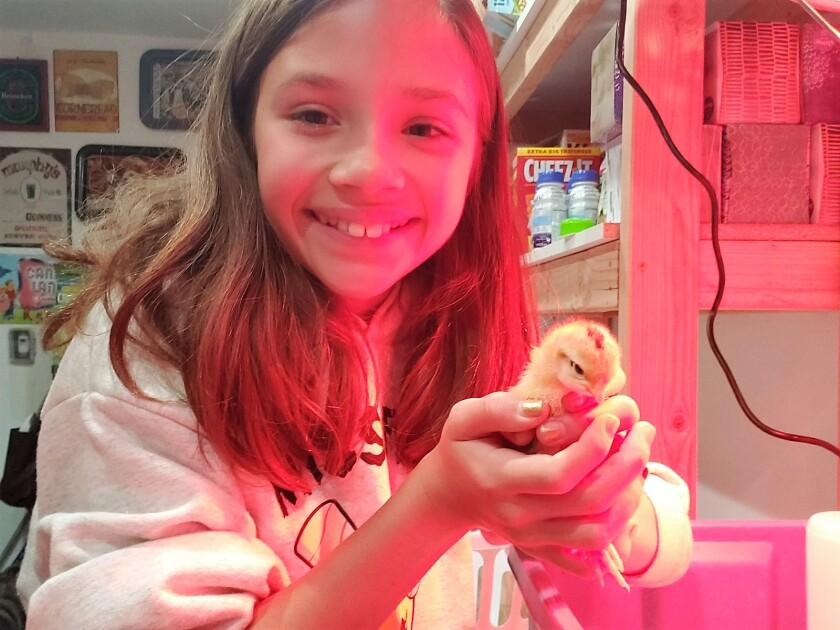 Bathed in the red glow of a brooder lamp, 9-year-old Franny Mullins of Escondido holds one of the baby chicks her family recently purchased as part of a homesteading practice they've adopted while sheltering at home.