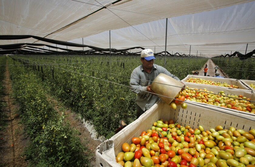 A worker loads just-picked Roma tomatoes at Agricola El Porvenir.