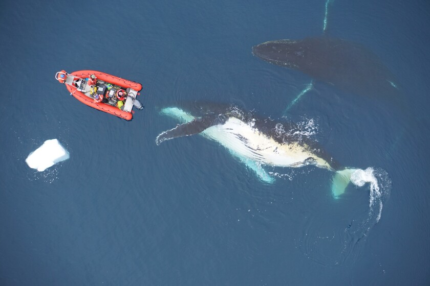 This undated photo provided by the Duke Marine Robotics and Remote Sensing Lab shows two humpback whales in the Antarctic. Whales are big, but why aren't they bigger? A new study released on Thursday, Dec. 12, 2019 says it's basically about how many calories they can take in. (Duke Marine Robotics and Remote Sensing Lab via AP)