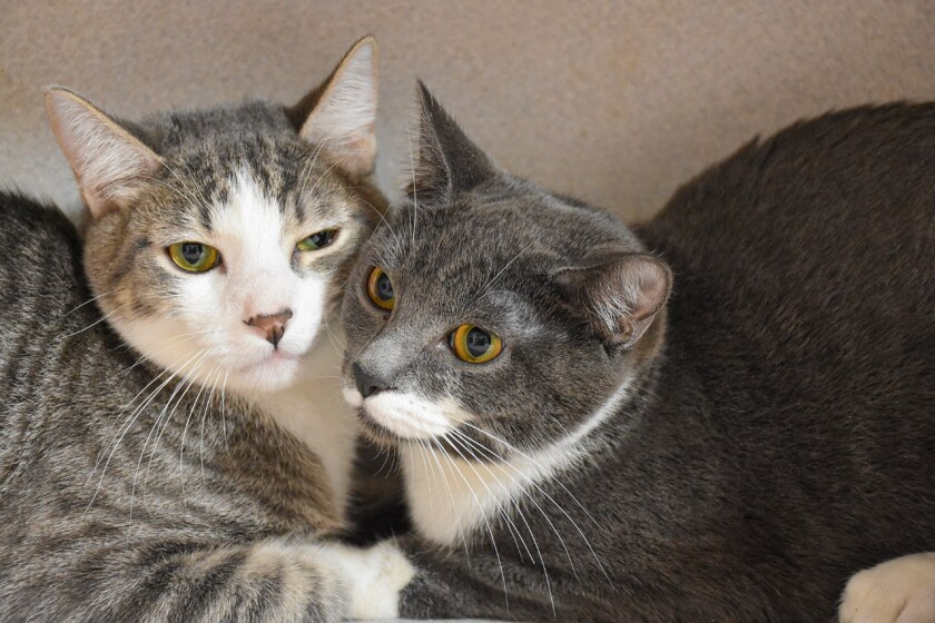 Skittles and Starburst, 8-month-old kittens up for adoption.