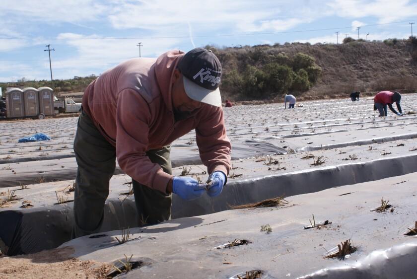 Una cuadrilla de trabajadores siembran plantas de fresas en un campo de la ciudad de Santa María, en el condado de Santa Bárbara.