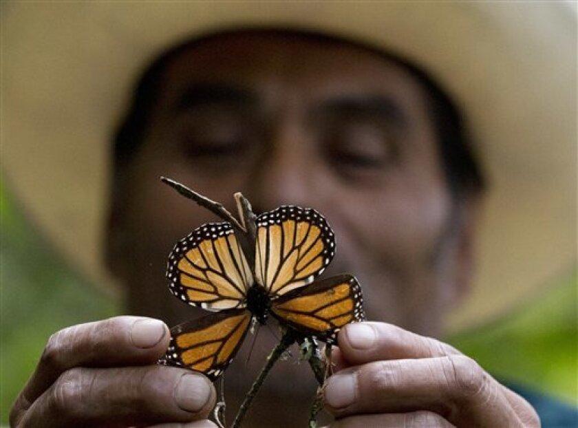 Foto de archivo, 12 de noviembre de 2015, de un guía sosteniendo una mariposa monarca moribunda en la reserva de Piedra Herrada, México. Tormentas han causado daños a los árboles de los bosques donde la mariposa migratoria pasa el invierno, informaron expertos el martes 23 de agosto de 2016.