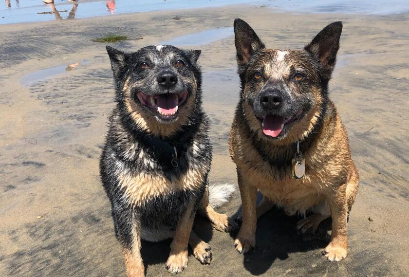 A pair of diggity dogs enjoy the scene at Ocean Beach