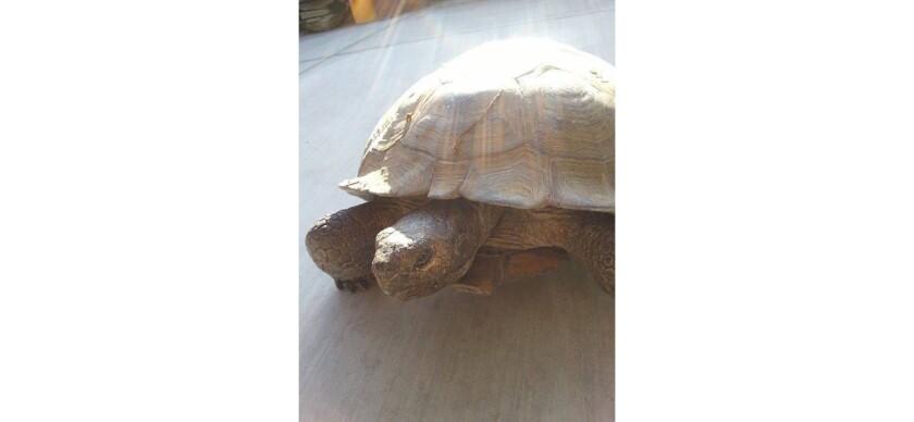Alhambra resident seeks help finding missing desert tortoise.