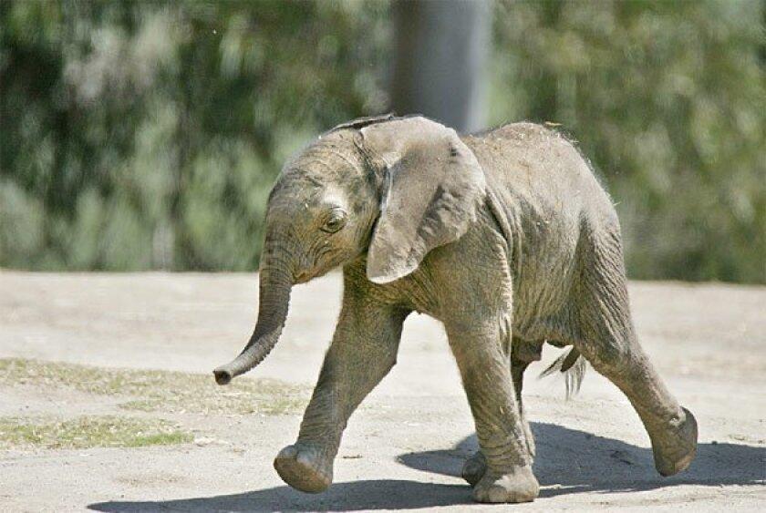 The 2-week-old calf is at the African elephant exhibit at the San  Diego Wild Animal Park, near Escondido.  (Eduardo Contreras / Union-Tribune)