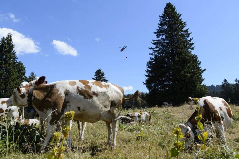 Un helicóptero del ejército suizo entrega agua desde una reserva en la región de Marchairuz, Suiza, el martes 21 de julio de 2015. Las vacas que sufren los rigores del sofocante verano helvético reciben ayuda de un aliado inesperado: el ejército suizo.