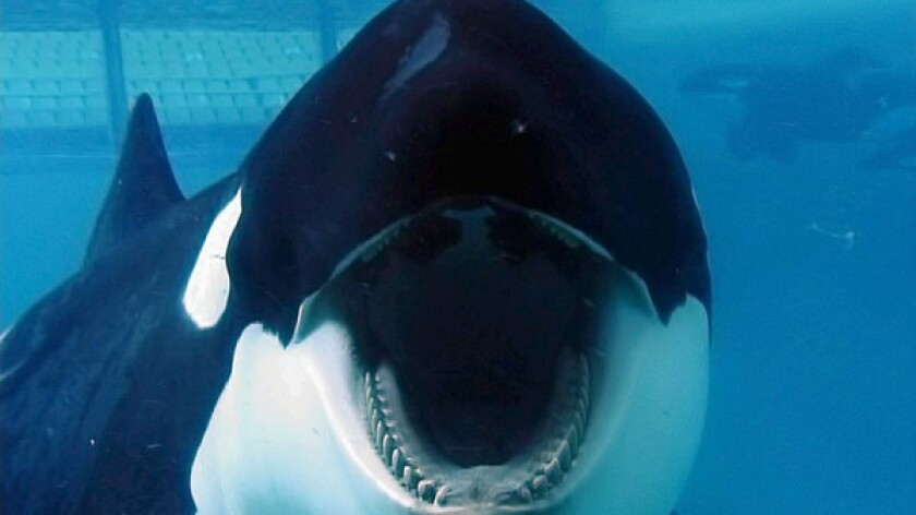 """Tilikum is the focus of the documentary """"Blackfish,"""" which is about killer whales' treatment at SeaWorld parks."""