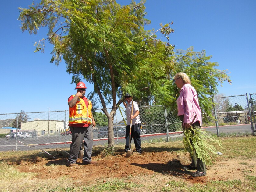 Andre Botter (left), Richard Wedge and Betty McMillen oversee the replanting of a jacaranda tree.