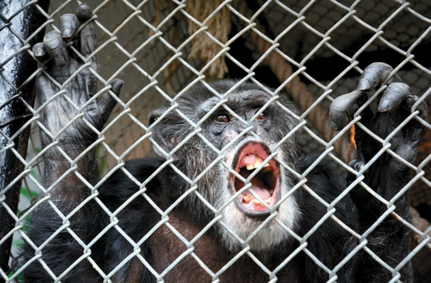 FILE- This Oct. 29, 2014, file photo shows Tommy, a chimpanzee, smiling at his home in Gloversville, N.Y. The two chimpanzees Hercules and Leo will not be freed from a New York state university where they're used in locomotion studies after a court decision Thursday, July 30, 2015, dismissed a lawsuit that had sought to afford them legal personhood rights. A higher court decision last year that found that Tommy was property, not a person, necessitated the lawsuit be tossed, State Supreme Court Justice Barbara Jaffe wrote in her decision. (Bill Trojan/The Leader-Herald via AP, File) MANDATORY CREDIT
