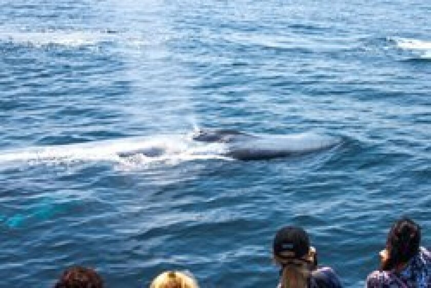On an Aquarium of the Pacific Sea Life Cruise in Long Beach, whale-watchers thrill to the sight of a baby blue whale following mother. Photos: Maurice Hewitt