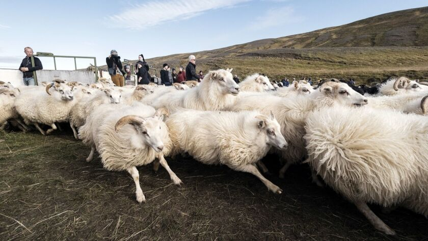 """A herd of sheep is driven into the center of the rett. A brief """"stampede"""" ensues as the corral slowly fills to capacity as part of Iceland's sheep roundup."""