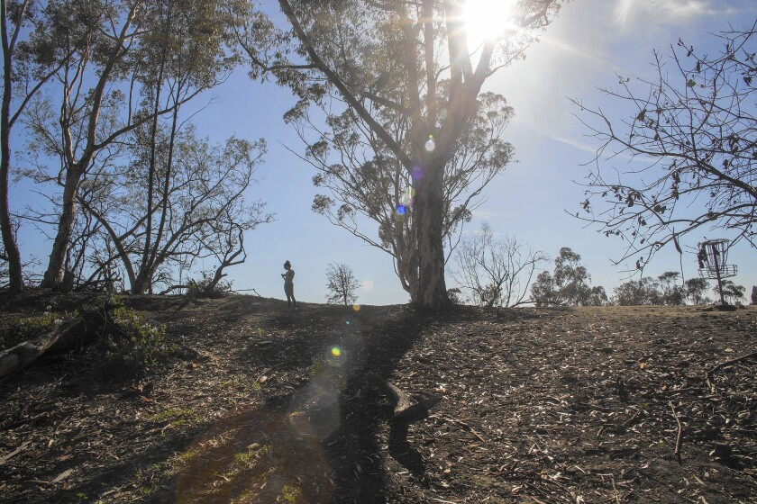 The trees in Elysian Park are barren and dying off at an alarming rate. A study commissioned as part of the 2006 proposed master plan shows that the deterioration of the park's non-native forests long preceded the current drought.