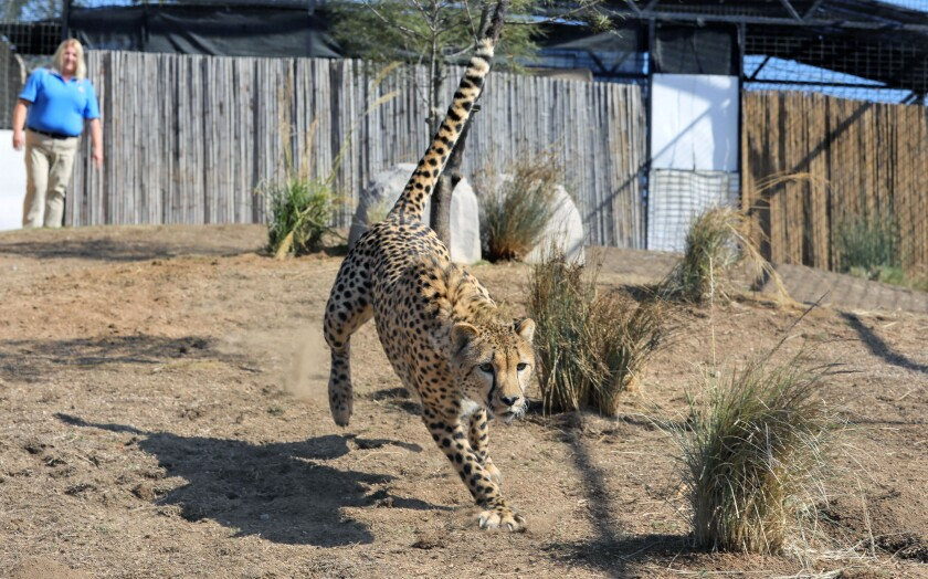 Hasani, one of three cheetahs at Wild Wonders conservation center in Bonsall, chases a ball thrown by Lead Keeper Candice Dymek, at upper left.
