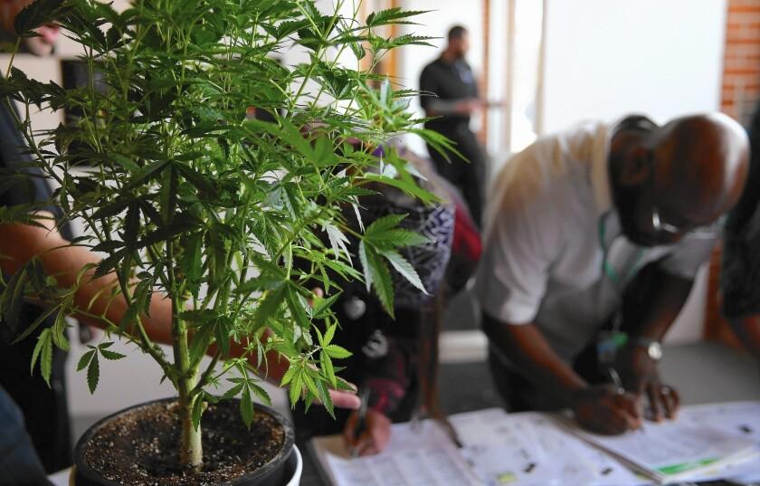 Marijuana is legal in Colorado but still illegal under federal law. Above, a cannabis job fair in Denver in 2014.