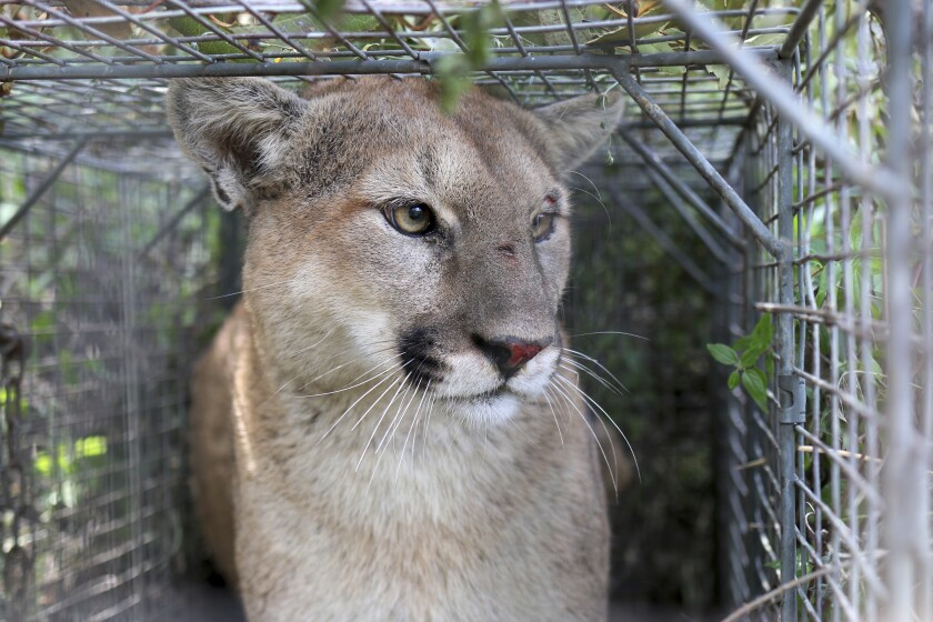 This April 7, 2017, photo released by the National Park Service shows P-56, a young male mountain lion that roams the western end of the Santa Monica Mountains in Southern California. The mountain lion, tracked by scientists as part of a federal study, was killed after officials issued a permit to a property owner whose livestock was repeatedly attacked. P-56, estimated to be about 5 years old, had been tracked via radio collar since 2017 by researchers studying how the animals survive as urban areas encroach into wildland. (National Park Service via AP)
