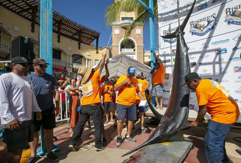 A 466-pound black marlin is hoisted to the scale.