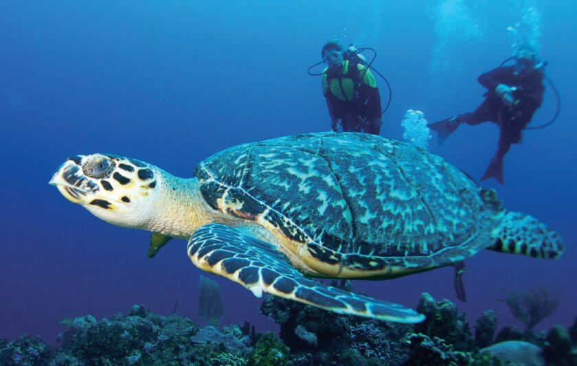 A pair of divers watch a green sea turtle swim off the Turks and Caicos Islands.