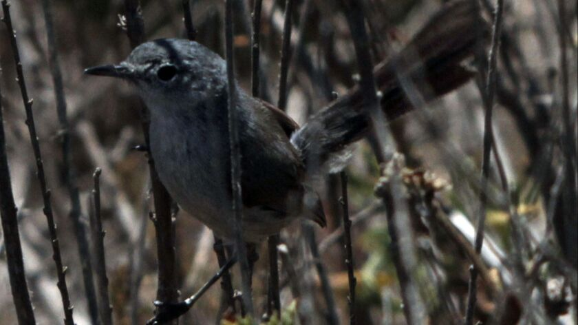 PALOS VERDES, CA - JUNE 27, 2014: A California Gnatcatcher hangs on to coastal sage scrub before it